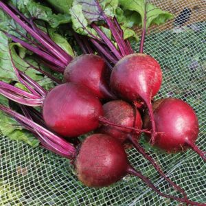 Beets, Shiraz Red