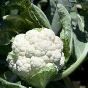 CAULIFLOWER, Goodman