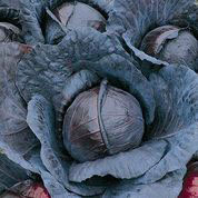 CABBAGE, Red Express