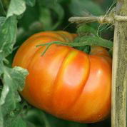 TOMATO, Striped German