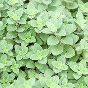 OREGANO, Hot & Spicy