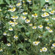 CHAMOMILE, German